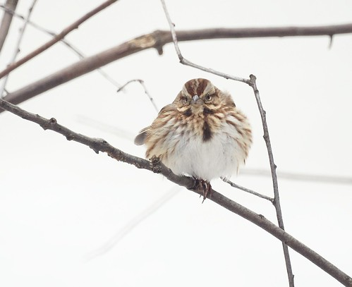 Song Sparrow, Winter