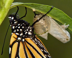 Chrysalis to Butterfly (#3 of 5)