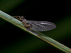 Mayfly in May