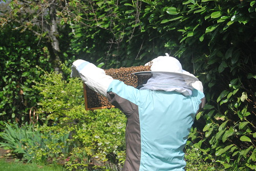 bees, queen, new hive