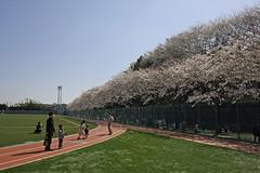 たまプラーザの桜(Cherry Blossoms at Tamaplaza, Yokohama, Japan, 2012)