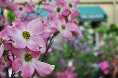 Dogwood trees are in full bloom!