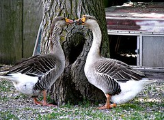 """Geese • <a style=""""font-size:0.8em;"""" href=""""http://www.flickr.com/photos/72892197@N03/7279676482/"""" target=""""_blank"""">View on Flickr</a>"""