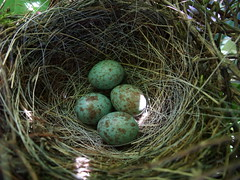 Mockingbird (Mimus polyglottos) eggs