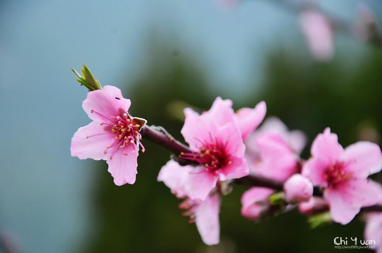拉拉山水蜜桃花15.jpg
