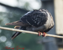 Headless Rock Pigeon on a Wire