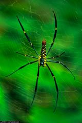 Arachnophobia Large Banana Spider in Phuket Th...