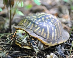 Ornate Box Turtle - Terrapene ornata