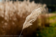 Grass Stem