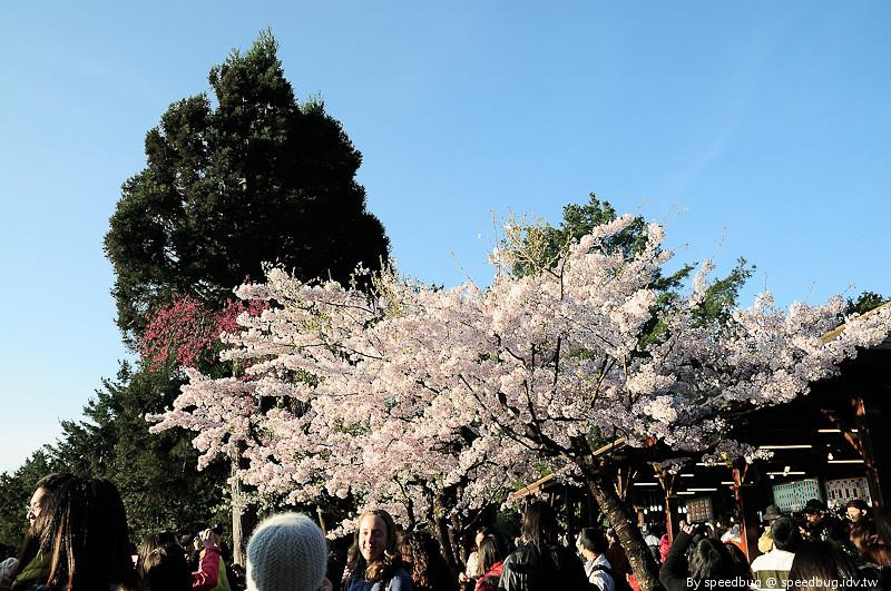 阿里山櫻花季24