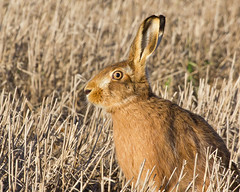 The Hare that came closer...