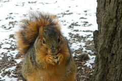 Squirrel in winter
