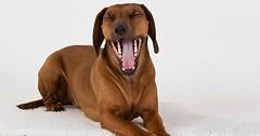 """Das Gähnen. Der Hund gähnt. Die Hunde gähnen. • <a style=""""font-size:0.8em;"""" href=""""http://www.flickr.com/photos/42554185@N00/26926666040/"""" target=""""_blank"""">View on Flickr</a>"""