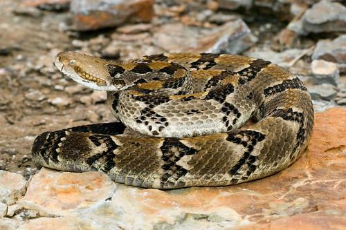 Herps of Arkansas: Timber Rattlesnake (Crotalus horridus)