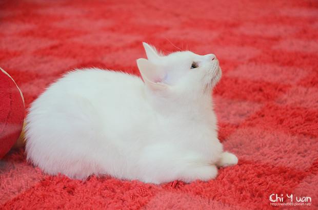 小小白貓三胞胎01.jpg