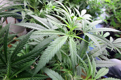 Medical Cannabis Growing Operation in Oakland,...