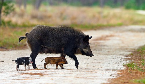 Feral Pig and Piglets
