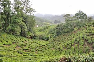 cameron highlands- malaisie 12