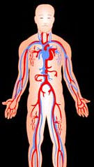 Goalfinder Blood-circulatory-system