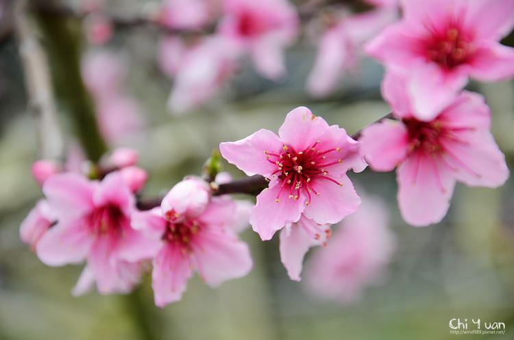 拉拉山水蜜桃花11.jpg