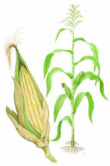 Maize diagram