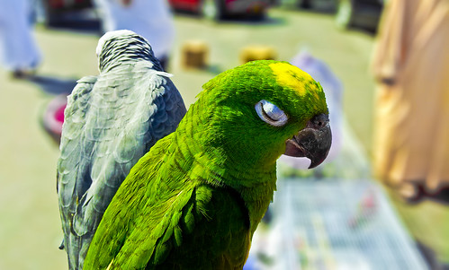Amazon parrot and African gray parrot