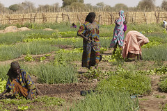 Chad Food Crisis: a market garden helps provid...