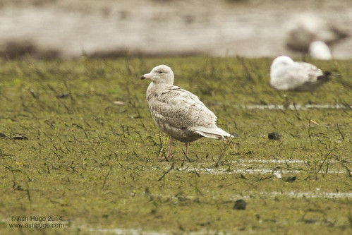 """Glaucous Gull, Hayle Estuary, 21.04.14 (A.Hugo) • <a style=""""font-size:0.8em;"""" href=""""http://www.flickr.com/photos/30837261@N07/13971381143/"""" target=""""_blank"""">View on Flickr</a>"""