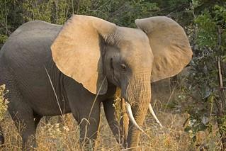 Elephant_4217