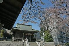 驚神社の桜(Cherry Blossoms at Odoroki Shrine, Yokohama, Japan, 2012)
