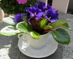 Teacup Violets