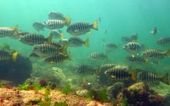 School of zebrafish