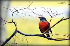 Sure sign of Spring - Robin - Bird