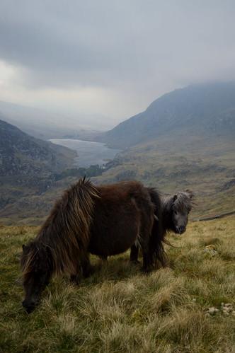 Wild Ponies in Snowdonia