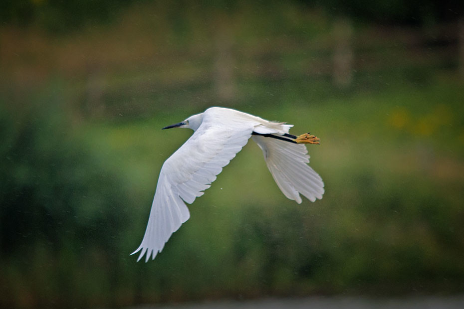 Little Egret Flight