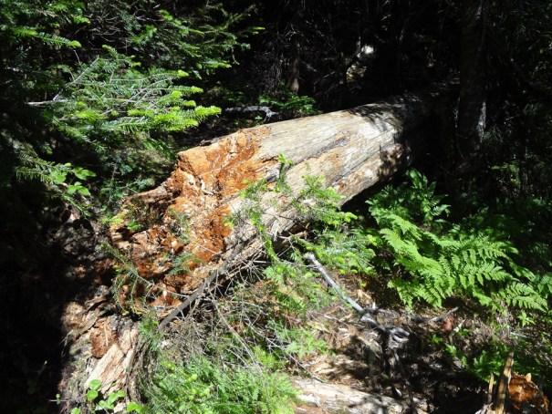 Blowdown on Wright Trail North Branch