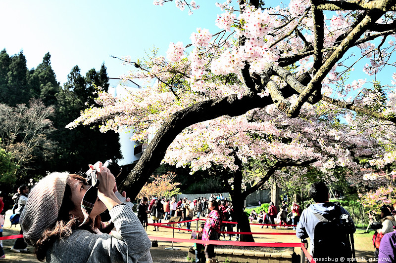 阿里山櫻花季81