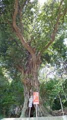 師岡熊野神社のアカガシ(Red Oak at Morooka Kumano Shrine, Yokohama, Japan)