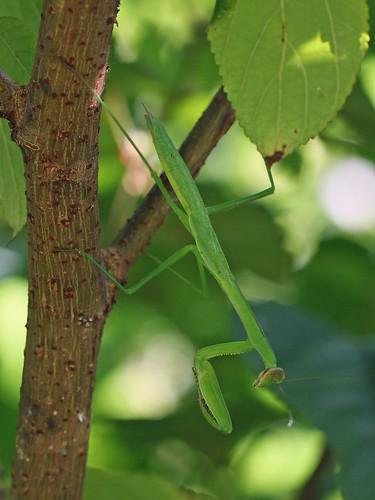 新治市民の森のオオカマキリ(幼虫)(Mantis at Niiharu Community Woods, Yokohama, Japan)