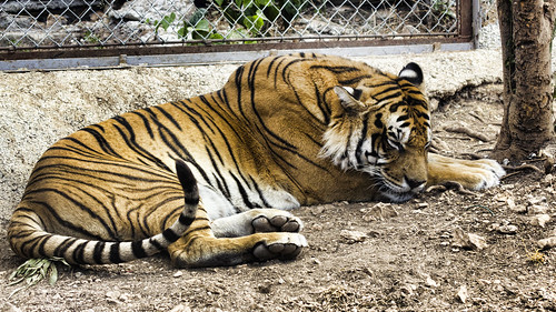 Sleeping Tiger (Panthera Tigris)