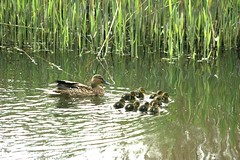 "Ducklings on the pond (Diane wilson) • <a style=""font-size:0.8em;"" href=""http://www.flickr.com/photos/60890513@N06/7039126191/"" target=""_blank"">View on Flickr</a>"