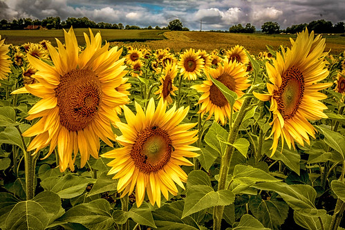 "Sonnenblumen - Extrembearbeitung • <a style=""font-size:0.8em;"" href=""http://www.flickr.com/photos/91404501@N08/26910722873/"" target=""_blank"">View on Flickr</a>"