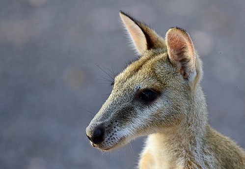 """Agile Wallaby - Nitmiluk NP - NT • <a style=""""font-size:0.8em;"""" href=""""http://www.flickr.com/photos/95790921@N07/8747180202/"""" target=""""_blank"""">View on Flickr</a>"""