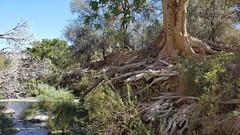 Fig grove