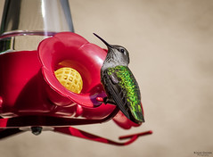 "Green Backed Hummingbird • <a style=""font-size:0.8em;"" href=""http://www.flickr.com/photos/41711332@N00/8750310023/"" target=""_blank"">View on Flickr</a>"