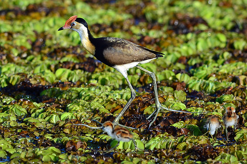 """Comb-crested Jacana - Yellow Waters - NT • <a style=""""font-size:0.8em;"""" href=""""http://www.flickr.com/photos/95790921@N07/8745714941/"""" target=""""_blank"""">View on Flickr</a>"""