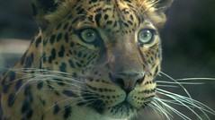 Leopardo mexicano | Zoológicos mágicos (Chapul...