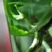 sticklingar i grön vas.