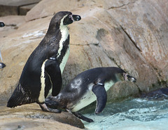 London Zoo, Humboldt Penguins At Penguin Beach