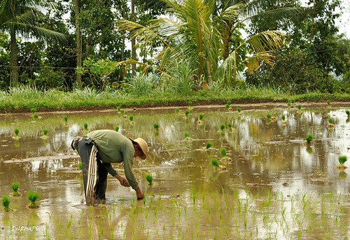 Planting rice... by leodelrosa..., on Flickr